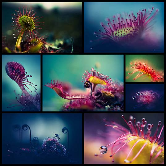 Amazing-Macro-Photos-of-Drosera,-the-Alien-Like-Plant--Design-Swan