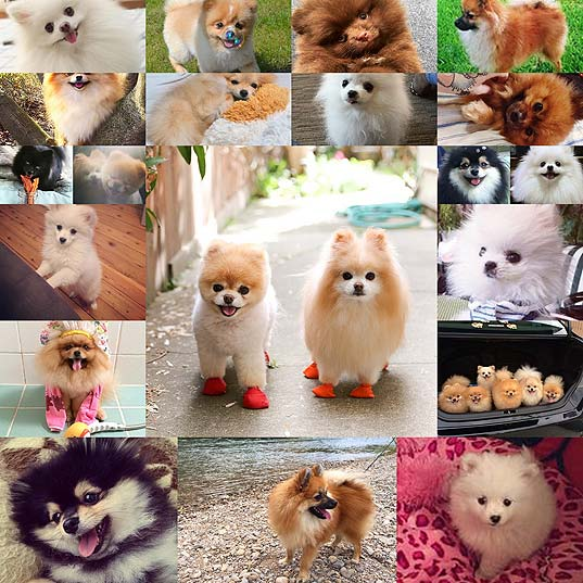 For-Everyone-Who-Absolutely-Adores-Pomeranians
