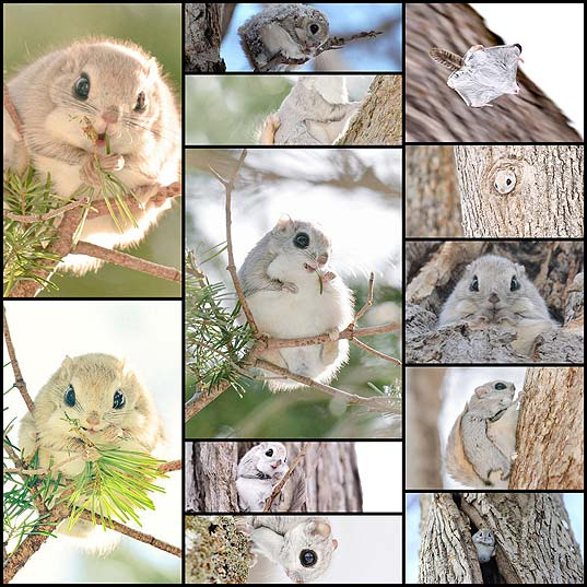 Japanese-And-Siberian-Flying-Squirrels-Are-Probably-The-Cutest-Animals-On-Earth--Bored-Panda