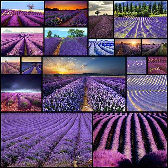 Magnificent-Photography-of-Lavender-Fields--Design-Swan
