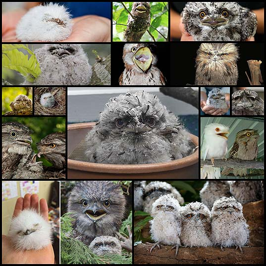 The-World's-Cutest-Owl-Look-Alike-Is-The-Tawny-Frogmouth-(15+-Pics)--Bored-Panda