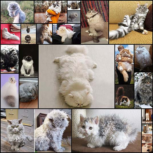 20+-Of-The-Fluffiest-Cats-In-The-World--Bored-Panda