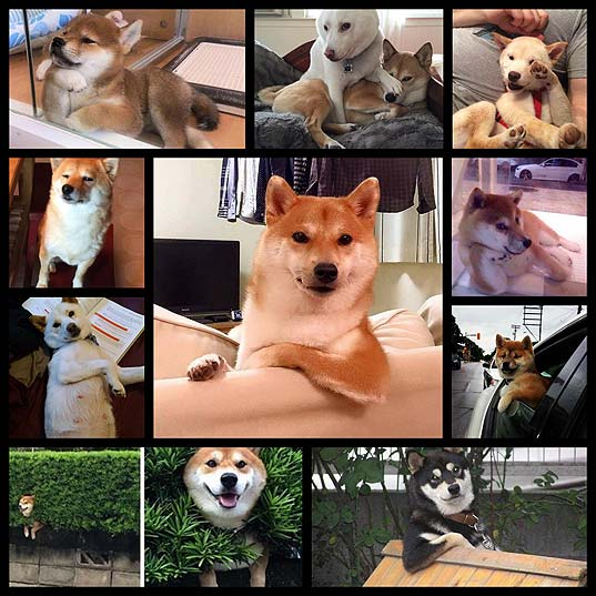 11-Shibas-Who-Would-Please-Like-You-To-Go-On