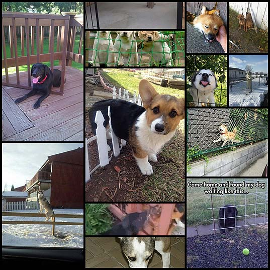 13-Dogs-Who-Just-Don't-Understand-Fences