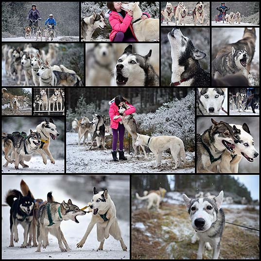 17-Pictures-Of-Scotland-Looking-Like-Siberia-As-Husky-Dogs-Train-For-The-Aviemore-Sled-Dog-Rally---BuzzFeed-News