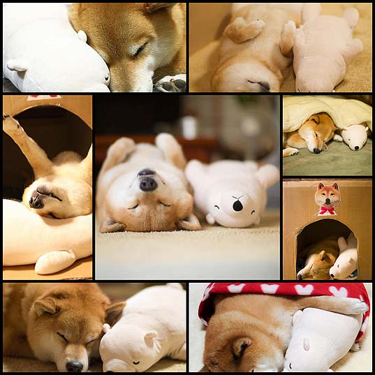 Lovable-Shiba-Inu-Always-Falls-Asleep-in-Same-Position-as-His-Look-Alike-Stuffed-Animal---My-Modern-Met