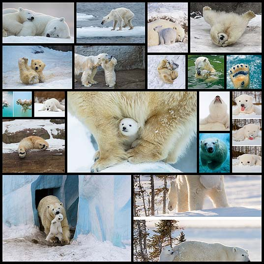 13+-Cute-Baby-Polar-Bears-Celebrate-International-Polar-Bear-Day--Bored-Panda