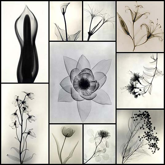 X-Ray-Photographs-From-the-1930s-Expose-the-Delicate-Details-of-Roses-and-Lilies--Colossal