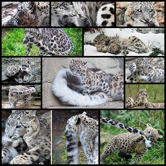 Snow-Leopards-Love-Nomming-On-Their-Fluffy-Tails-(12-Pics)--Bored-Panda