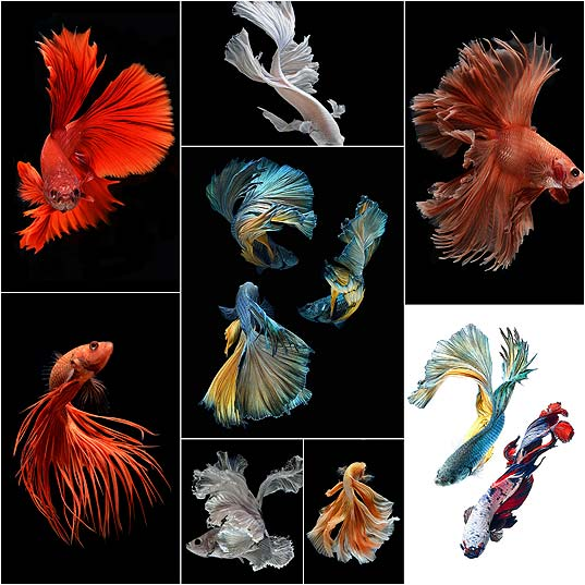 Stunning-New-Portraits-of-Siamese-Fighting-Fish-by-Visarute-Angkatavanich--Colossal