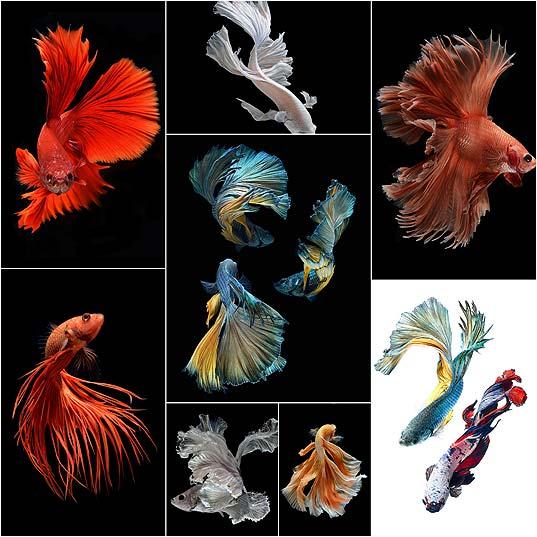 Stunning-New-Portraits-of-Siamese-Fighting-Fish-by-Visarute-Angkatavanich--Colossal