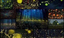 Surreal-Photos-Of-Fireflies-From-Japan's-2016-Summer--Bored-Panda