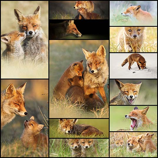 Photographer-Reveals-Rarely-Seen-Side-Of-Wild-Foxes--Bored-Panda1