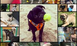 19-baby-pugs-so-ridiculously-cute-that-youll-die-from-love