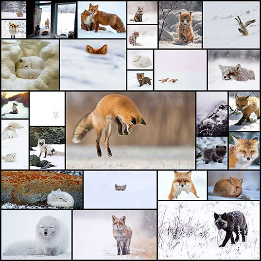 15-stunning-winter-fox-photos-thatll-make-you-fall-in-love-with-foxes-bored-panda