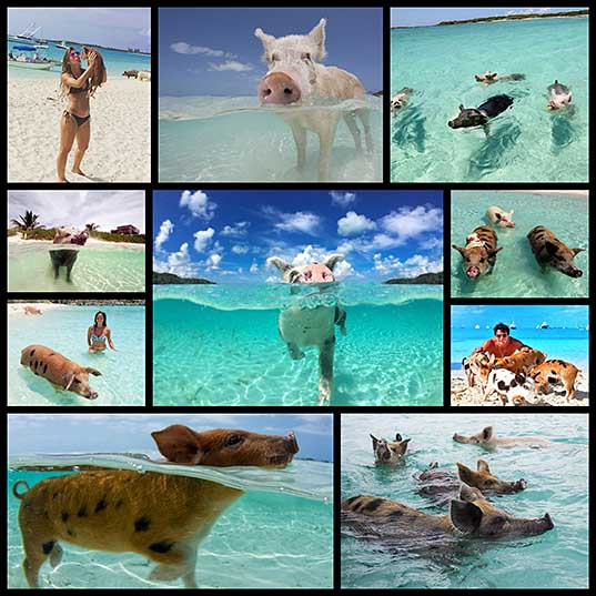 Bahamas Swimming Pigs Found Dead After Tourists Gave Them Alcohol Bored Panda1