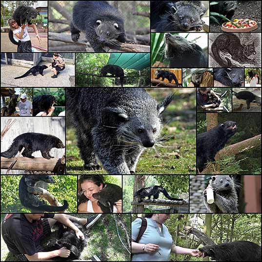 25 Бинтуронг - котомишка