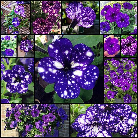 """13 These """"Galaxy"""" Flowers Are Out Of This World Bored Panda"""