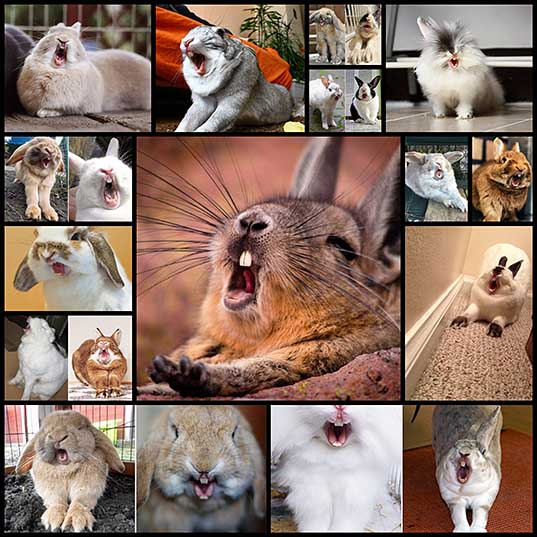 There Is Nothing More Terrifying Than a Yawning Rabbit
