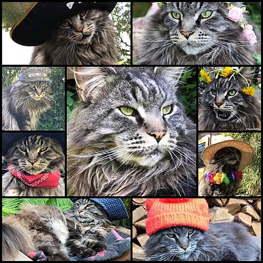 Please Look At This Beautiful Maine Coon Who Likes To Wear Hats