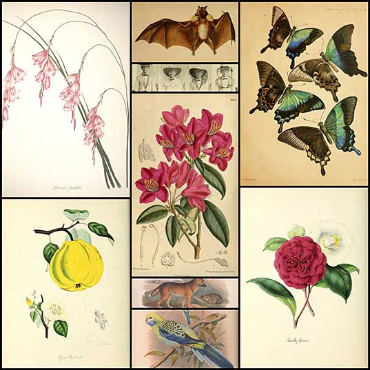 Millions of Free Botanical Illustrations from the Biodiversity Heritage Library