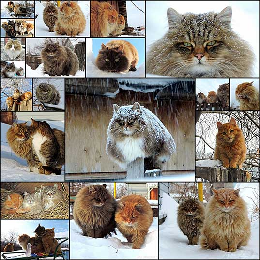 If You're Ever Feeling Down, Just Remember There's A Farm In Siberia Full Of Fluffy Cats Bored Panda