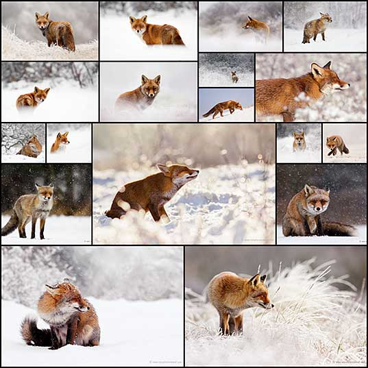 Charming Red Fox Photos Capture Their Resilience in the Winter Snow
