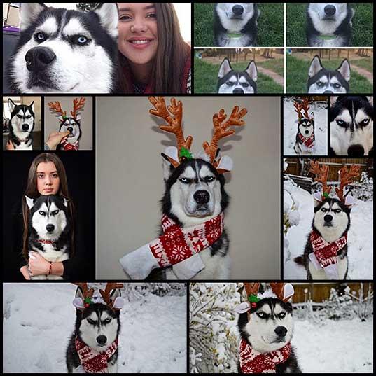 Сибирский хаски Ануко ненавидит Рождество и показывает это всем своим видом