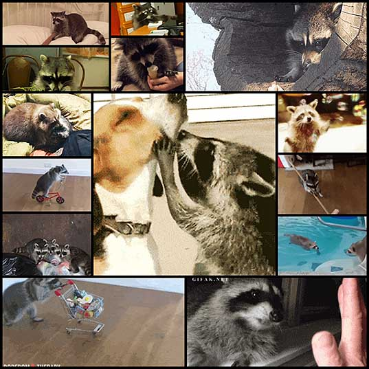 Can You Get Through This Post Without Realizing That You Actually Love Raccoons