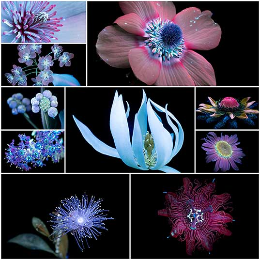 New Sparkling Blooms Photographed with Ultraviolet-Induced Visible Fluorescence by Craig Burrows Colossal