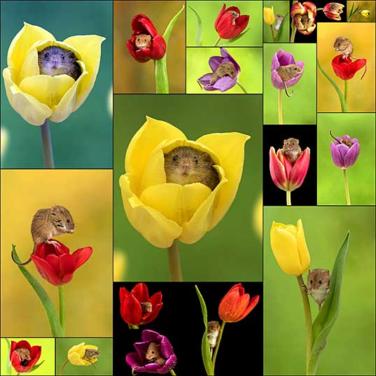 20 Photographer Tiptoes Through The Tulips To Shoot Harvest Mice, And The Result Will Make Your Day Bored Panda