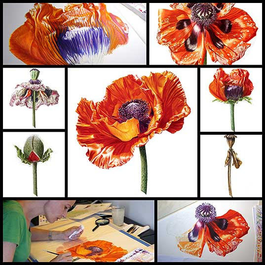I Painted A Poppy Flower From Birth To Death In Watercolor Bored Panda
