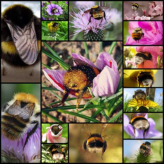 The World's Greatest Collection of Bumblebee Butts