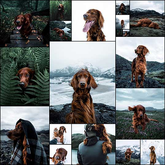 Majestic Irish Setter Spends Her Time Exploring the Norwegian Landscape