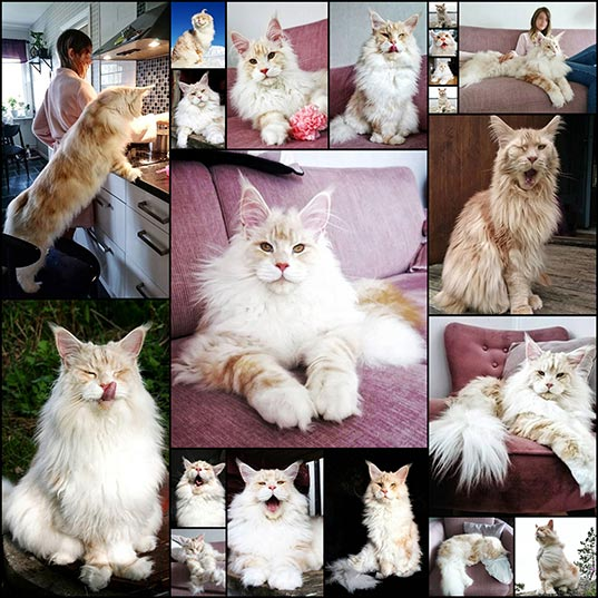 20-Majestic-Maine-Coon-Cat-is-Captured-Being-an-Adorable-Gentle-Giant