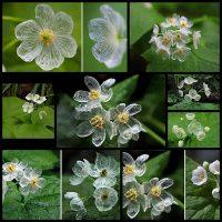 Цветок,-который-становится-прозрачным-после-дождя