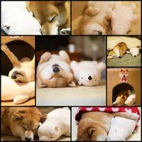Lovable-Shiba-Inu-Always-Falls-Asleep-in-Same-Position-as-His-Look-Alike-Stuffed-Animal---My-Modern-Met